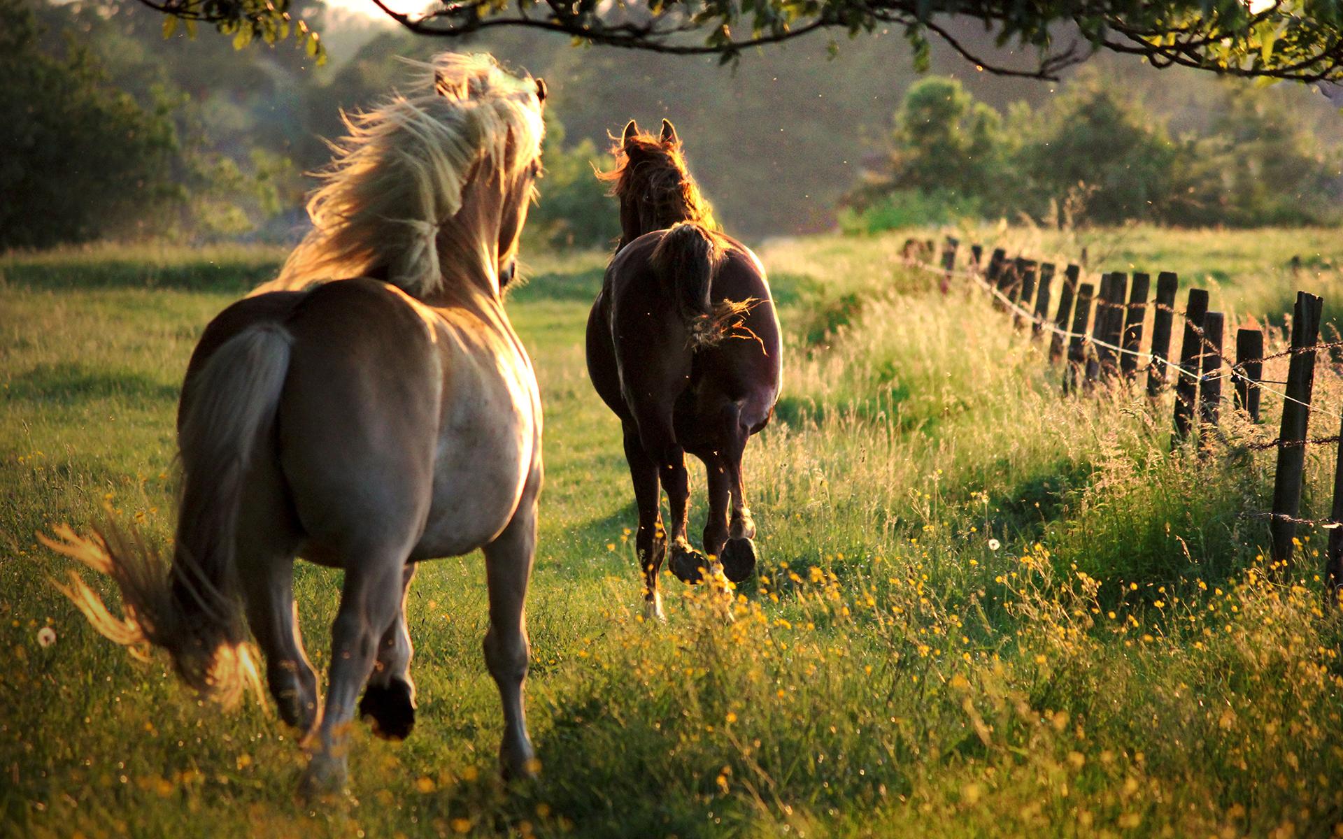 två hästar i galapp
